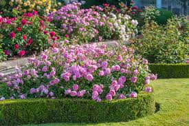 13-How To Plant Rose Bushes In Landscaping Your Garden
