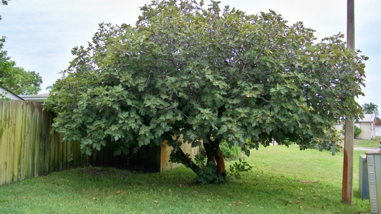 13-Do You Want The Shade Of Fig Trees